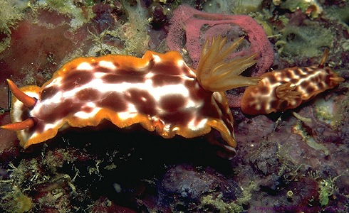 picture of a nudibranch