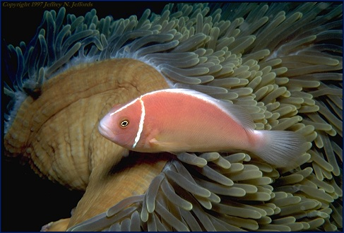 Pink Anemonefish added March 27 '97
