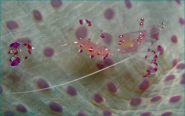 anemoneshrimp on anemone host (#24A)