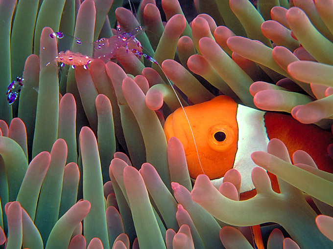 Anemonefish with shrimp in host anemone