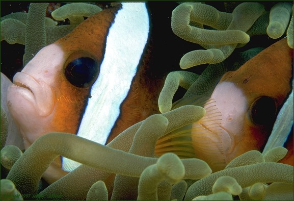 Clark's Anemonefish pair