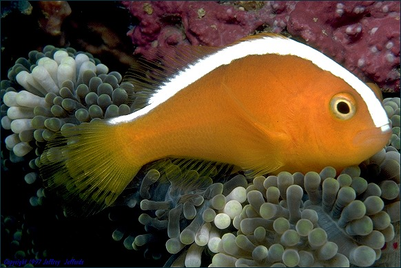 Orange Anemonefish in profile