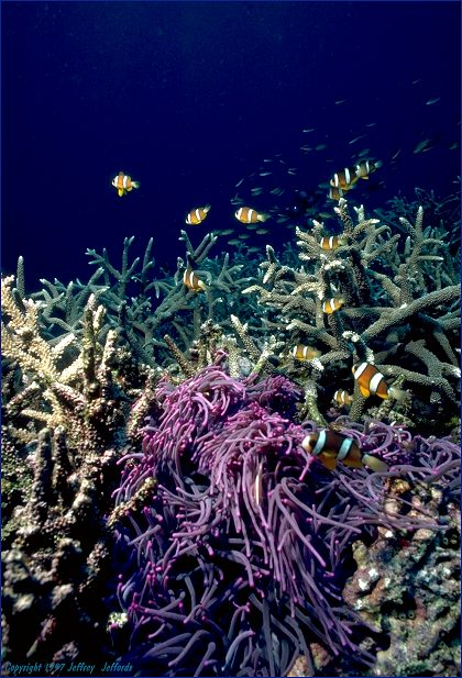 Large nest of Clark's Anemonefish with purple host anemone