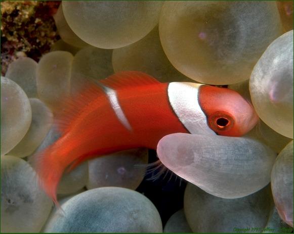 Juvenile Tomato Anemonefish