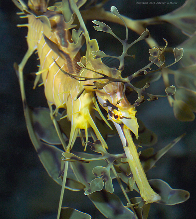 Dragón marino de hoja