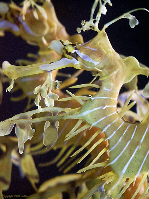 leafy sea dragon, profile view [109k]
