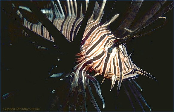 Black Lionfish (#78, added 2 May '98, 56K)