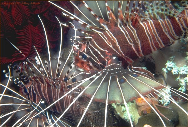 pair of lionfish (#79, added 7 May '98, 106K]