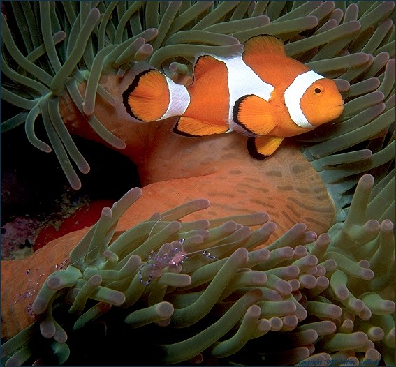 False Clown Anemonefish shares anemone with Anemone Shrimp