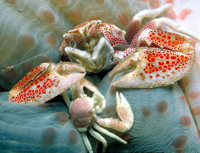 Porcelain crabs with host anemone [142K]
