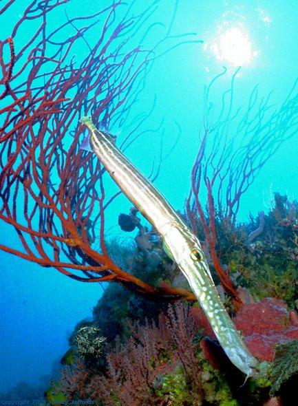 Trumpetfish (71k)