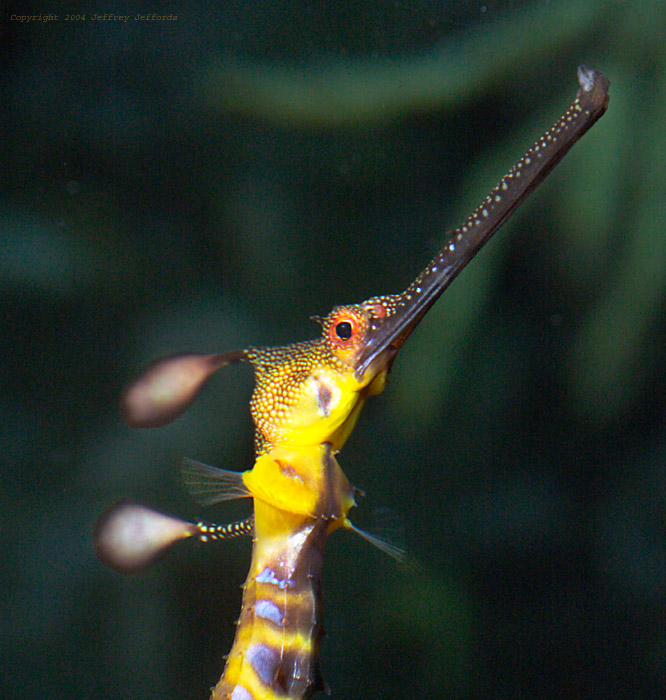 weedy sea dragon #2  [158K]