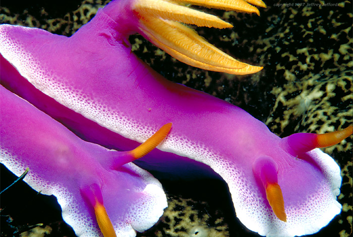 blue dorid nudibranch #3 [132k}