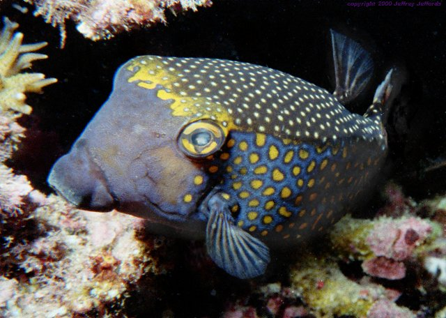 male Spotted boxfish [69k] added 6 nov 00
