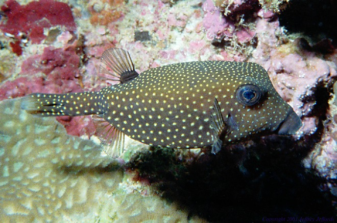 female spotted boxfish [108K]