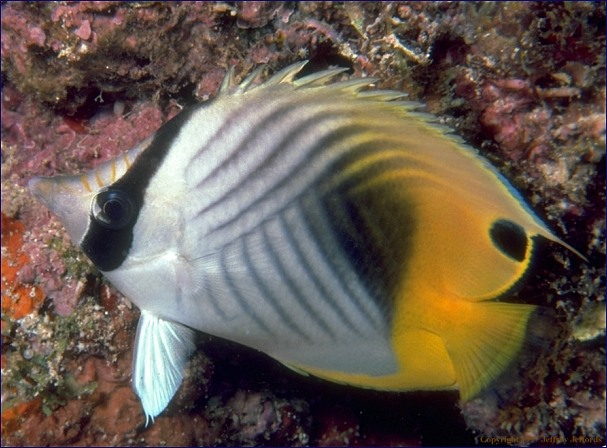 butterflyfish (#80, added 8 May '98, 82K]