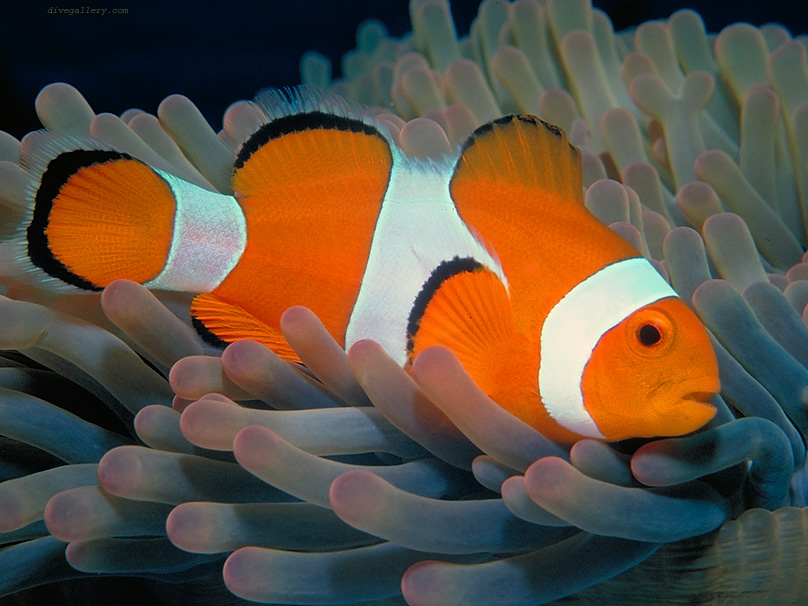Clownfish wallpaper image 832x624 for What do clown fish eat