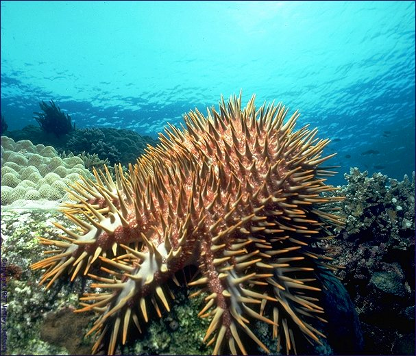 crown-of-thorns starfish (#49A, added 8 Jan '98)
