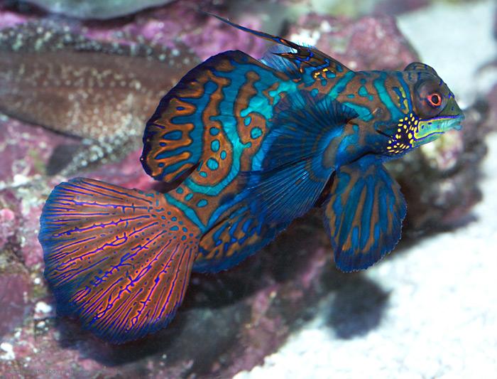 Mandarinfish, Synchiropus splendidus