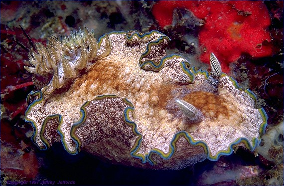 nudibranch Glossodoris cincta (frame #35)  added 20 Nov '97  [95K]