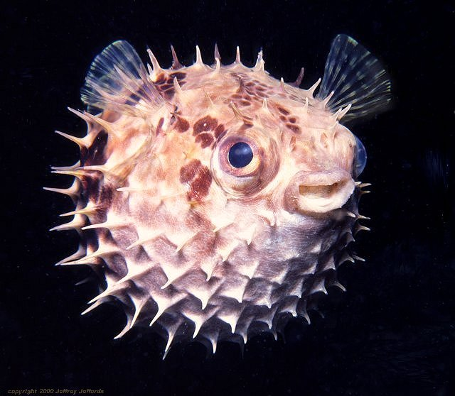 Rounded porcupinefish, full view [63k]