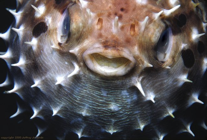 closeup view of inflated porcupinefish [65k]