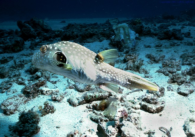 White spotted pufferfish arothron hispidus for Puffer fish diet