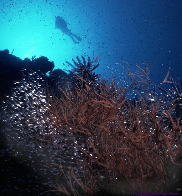 reef scene #13, diver with black coral and schooling fish [80k]