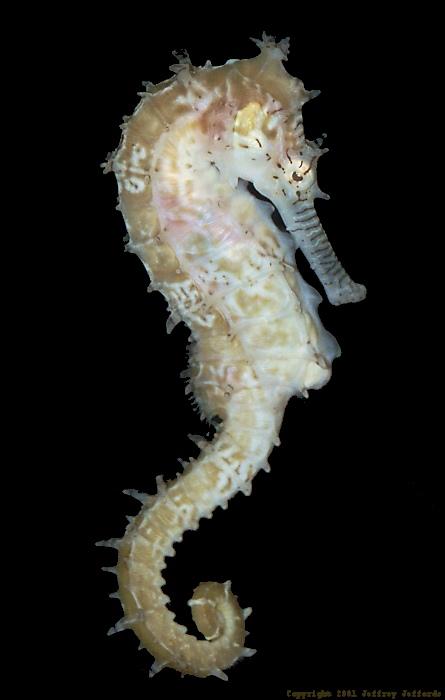 seahorse12