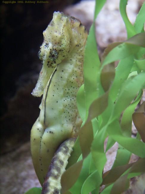 seahorse5