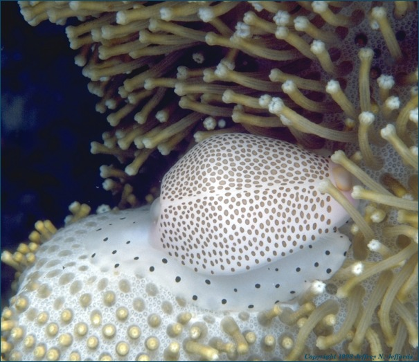Warted Egg Cowry on Mushroom Leather Coral [92K]