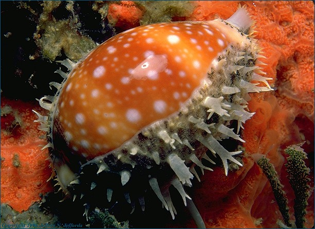 Pacific Deer Cowry (added 25 Jan '99) [95K]