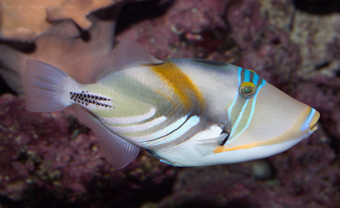 Picasso triggerfish [109K]