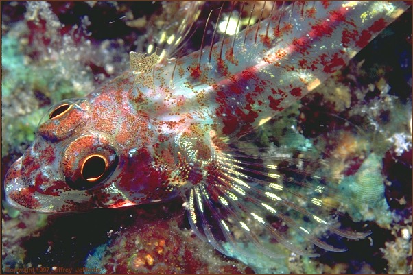 triplefin, up close! (#87, added 31 May '98, 90K)